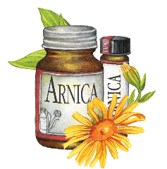 an image that looks hand painted of a bottle of Arnica a an Arnica flower and a homeopathic bottle of Arnica