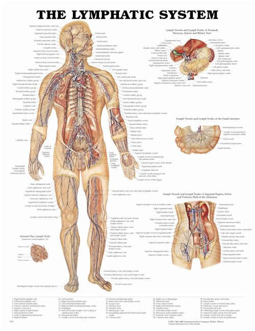 an image of the human body with the Lymph System outlined in colours and words
